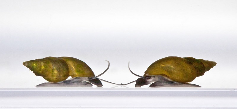 Using environmental DNA to detect early stages of the invasion of a destructive freshwater snail
